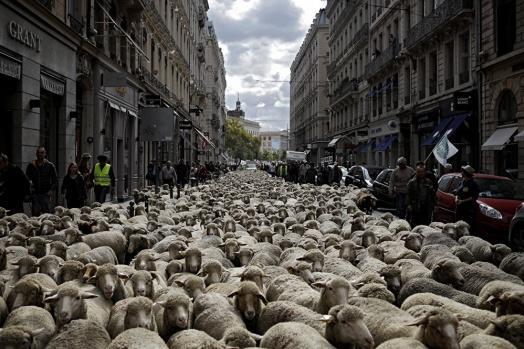 1200 koyun, kurtları protesto için yürüdü