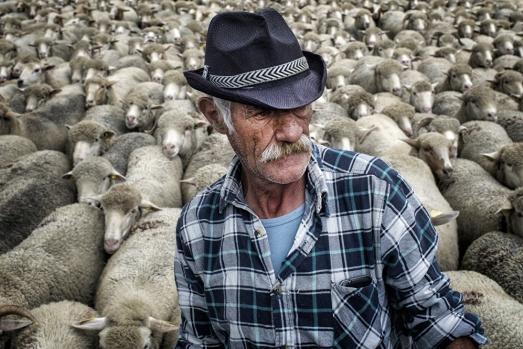 Bu nedenle 800.000 kadar koyunun yaşadığı bölgede sayısı bir elin parmaklarını geçmeyen kurtlar için kolay av teşkil ediyor.