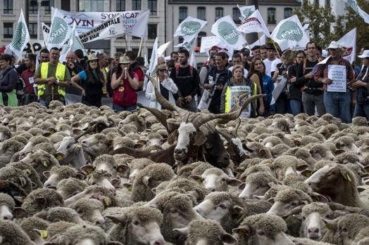 AFP'ye konuşan hayvan yetiştiricisi François Giacobbi, Aveyron'u kurtlar için bir 'kiler' olarak tanımlıyor.  Giacobbi'nin söylediğine gibi güçlü çoban köpekleri, elektrikli teller ve benzeri koruma yöntemleri de kurtlar karşısında yetersiz kalıyor.  KAYNAK: Sputnik