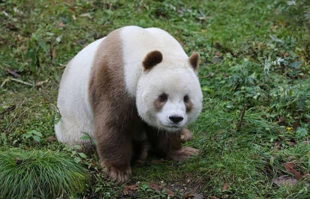 Büyürken de siyah-beyaz pandalar tarafından dışlanan Qizai, şimdilerde çok sevdiği bakım evinde kalıyor.