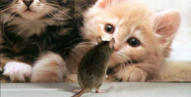 Kediler farelere karşı kimyasal silah kullanıyor