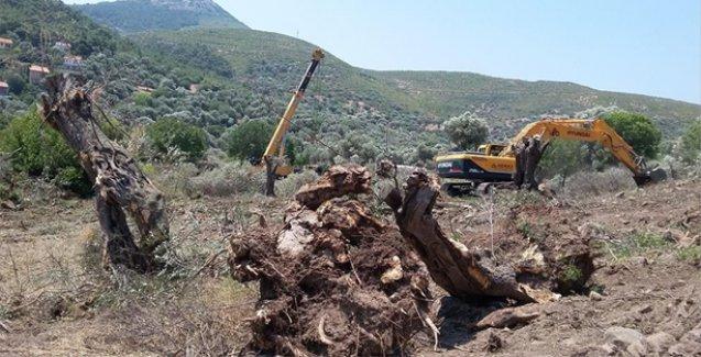Yeni Foça'da zeytin ağaçları tahrip edildi