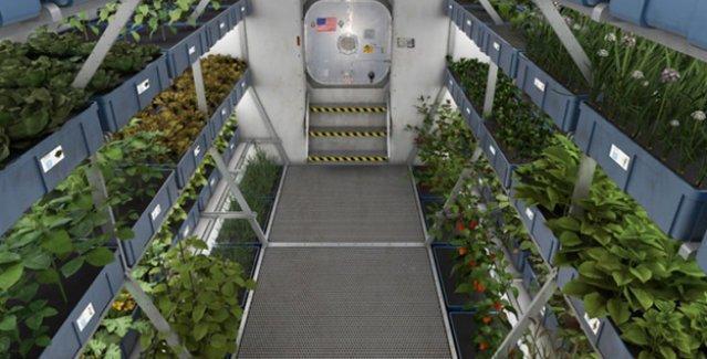 Astronotlar uzayda yetişen lahananın tadına bakacak