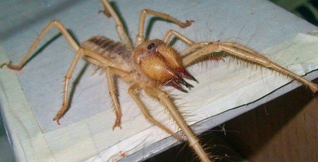 Edremit'te bulunan 15 santimetrelik örümcek