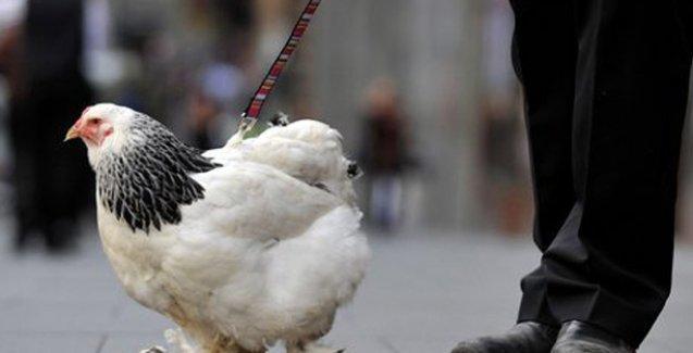 İnsanlar neden tavuklardan daha zeki?