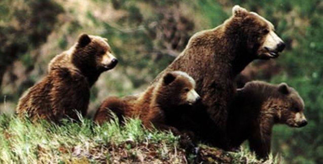 Orman Bakanlığı'ndan 15 ayıyı öldürmek için ihale!