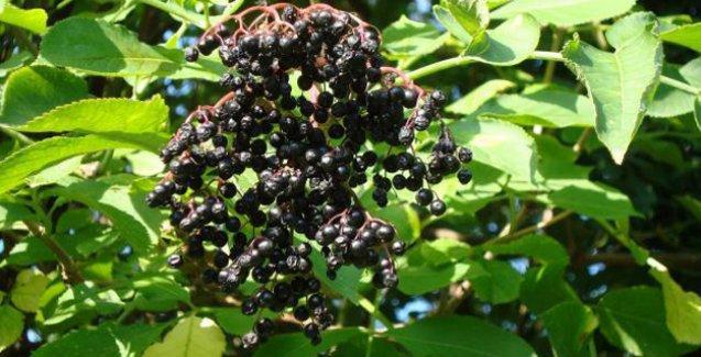 'İyileştiriyor' denilen bu bitkiler aslında 'şifalı' falan değilmiş