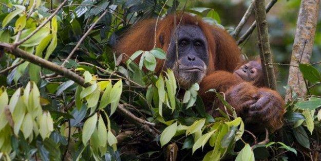 Otcul sanılan orangutanlar et yerken yakalandı