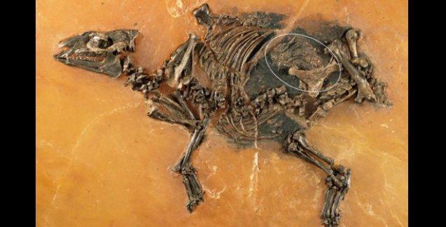 Almanya'da bulunan at fosili 48 milyon yıllık çıktı