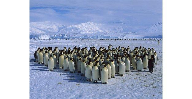 Antarktika'da penguenlerin aşırı ısınma nedeni