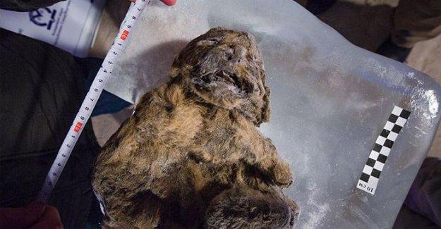 'Eşsiz derecede' korunmuş 12 bin yıllık mağara aslanı bulundu
