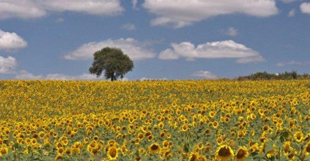 Rojava sınırında mısır ve ayçiçeği ekimi yasakladı
