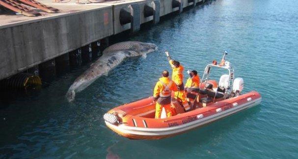 Koruma altındaki balina İskenderun'da karaya vurdu