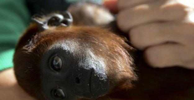 'Maymuna kafa nakli yapıldı' iddiası