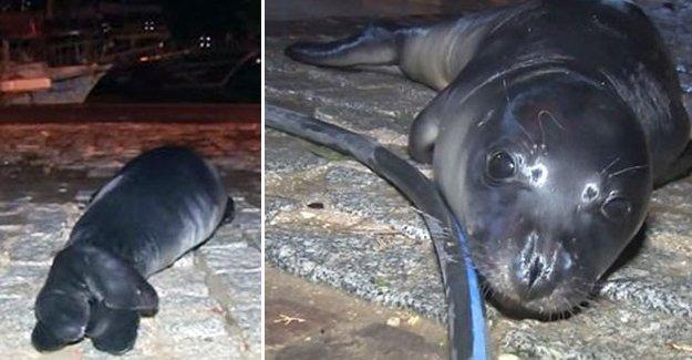 Yavru fok fırtına nedeniyle Antalya'da karaya vurdu
