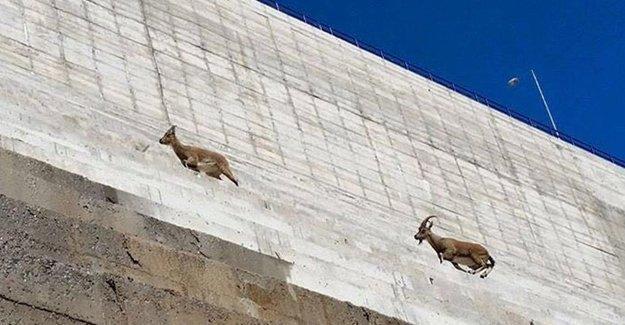 Dersim'de kaçak baraj, dağ keçilerinin yaşam alanlarını yok etti