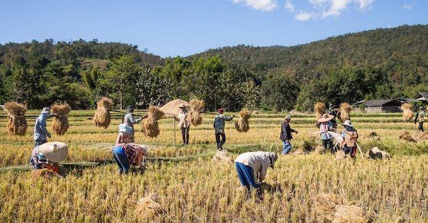 Çin'de 8000 yıllık pirinç tarlası bulundu