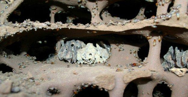 Tarihin en eski çiftçileri: Beyaz karıncalar