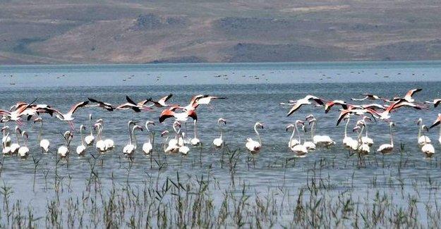Binlerce flamingo Van Gölü'nde