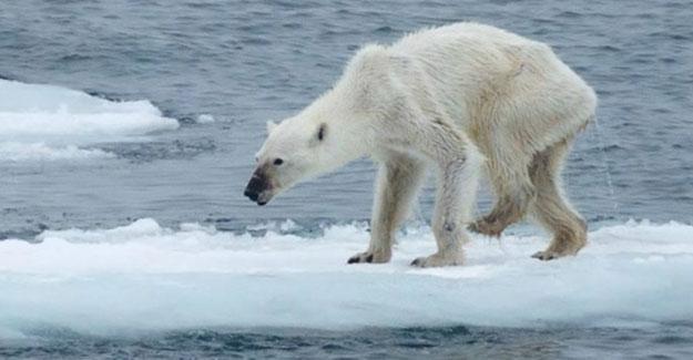 Çanlar kutup ayıları için çalıyor