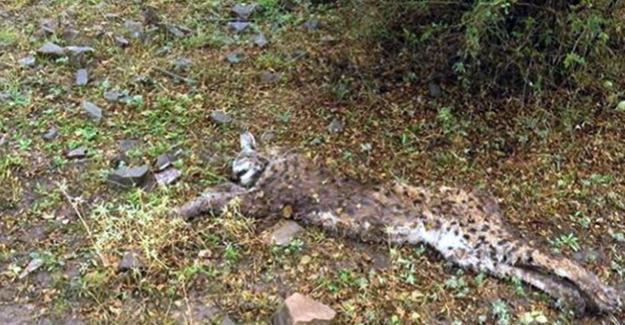 Erzincan'da bir haftada nesli tükenmekte olan iki vaşak öldürüldü