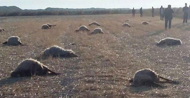Konya'da koyun katliamı