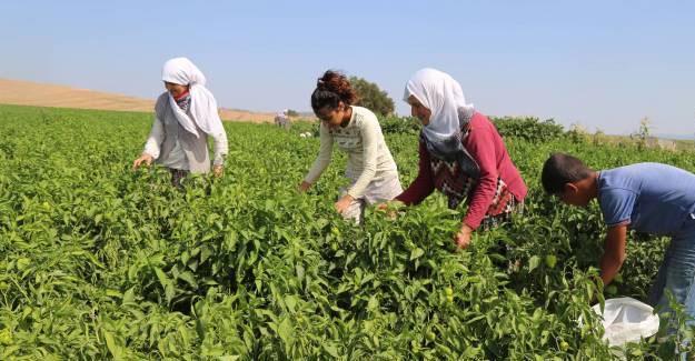 Mevsimlik işçiler anlatıyor: Emek çok, karşılık yok