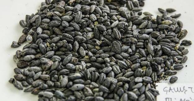 Van'da 2800 yıllık buğday yeniden yetiştirilecek