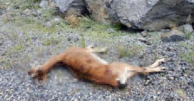 Erzurum'da avlanma yasağı olan yaban keçisini vurdular!
