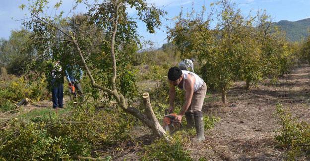 Kilosu 10 kuruşa düştü, üreticiler nar ağaçlarını söktü
