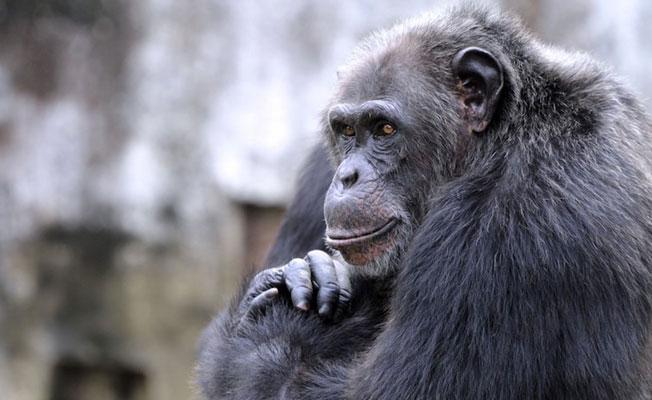 Büyük maymunlar da insanlar gibi zihin okuyabiliyor