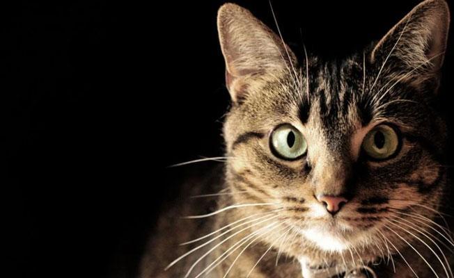Kediler hangi renkleri görebilirler?