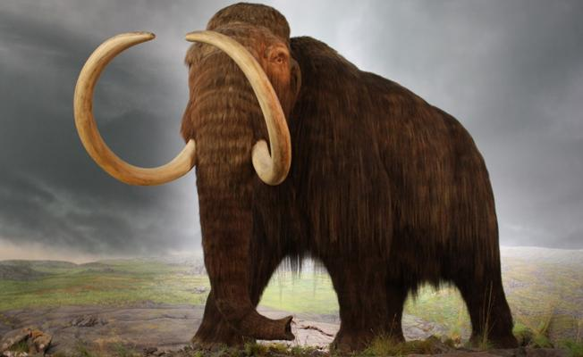 İki yıl içinde melez yünlü mamut yaratılabilir