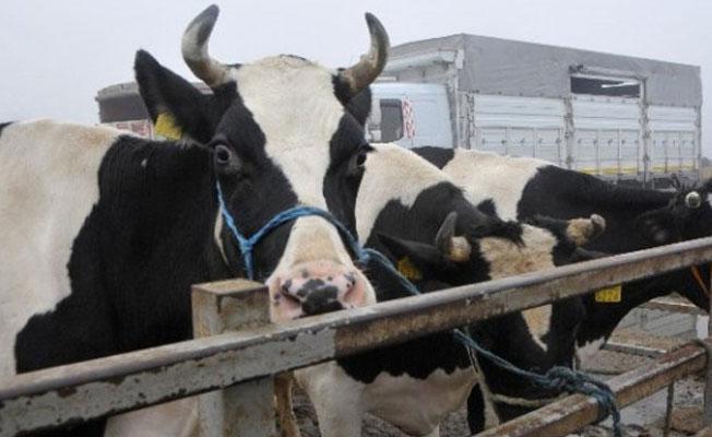 Hollanda'ya tepki için 40 inek sınırdışı edildi