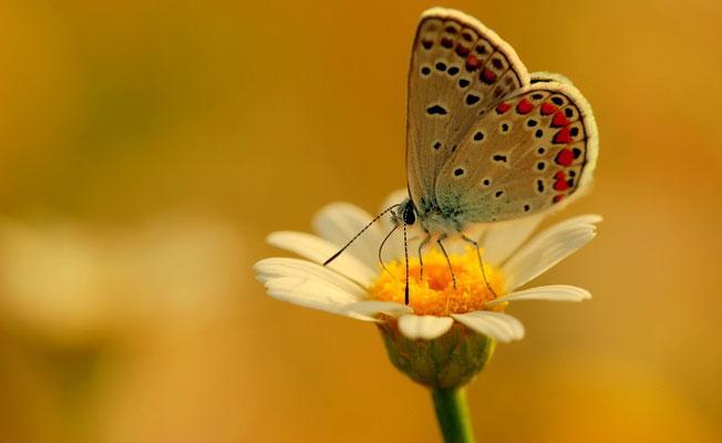 Bilim insanları kelebeklerin genleriyle oynayarak kanatlarındaki renk ve desenleri değiştirdi