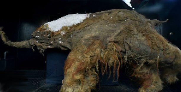 39 bin yaşındaki yavru mamut sergileniyor