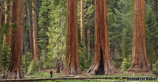3 bin 200 yaşındaki görkemli ağaç