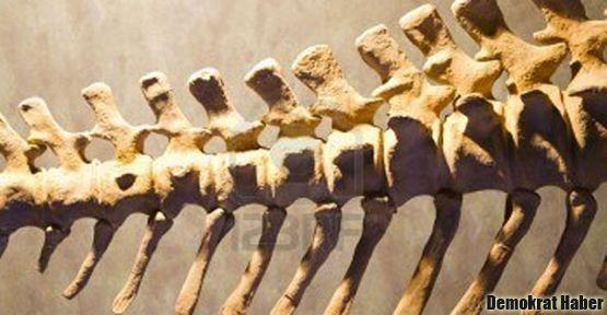 600 adet dinozor kemiği bulundu