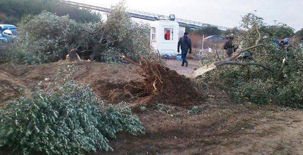 6 bin zeytin ağacını kesen Kolin şimdi de AKP'li belediyeyle zeytinlik oluşturacak