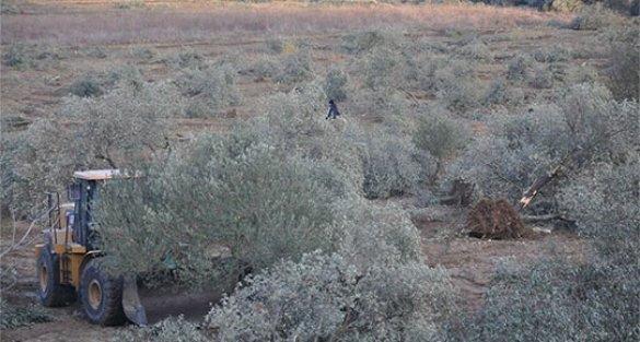 6 bin zeytin ağacı kesildi, Danıştay yürütmeyi durdurdu