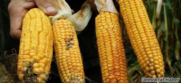 Avrupa'da GDO'lu mısır tartışması