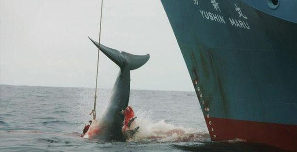 Balinaların nesli tehdit altinda