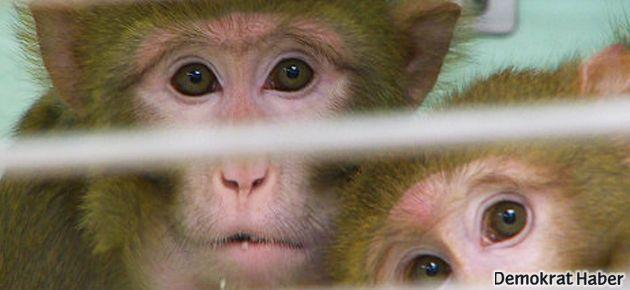 Bir maymunun beyni diğerine bağlandı!