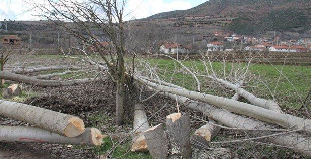 Ağaçlar bu kez de yüksek gerilim hattı için kesildi