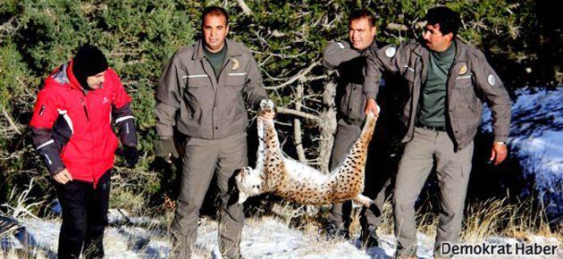 Burdur'da bir ayda ikinci vaşak öldürüldü