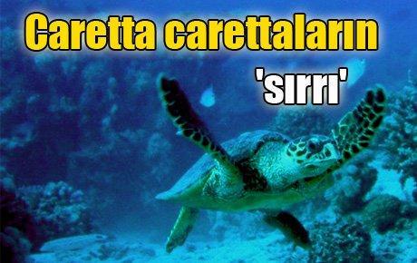 Caretta carettaların 'sırrı'
