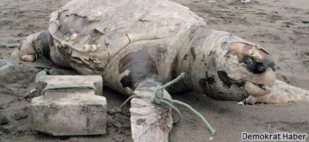 Caretta'yı ayağına taş bağlayıp denize attılar