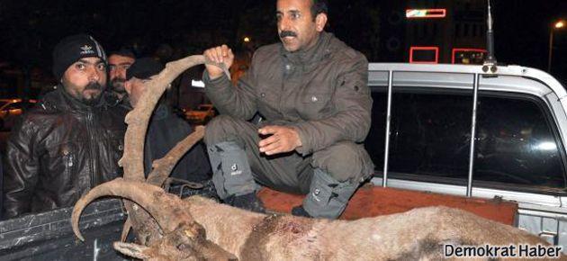 Dersim'de iki dağ keçisi öldürüldü