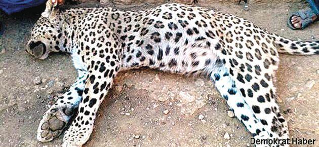 Diyarbakır'da öldürülen leopar incelenecek
