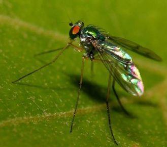 Erkek sinekler kendini alkole vuruyor